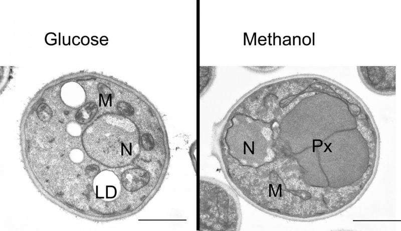 Newly discovered metabolism certifies evolutionary advantage for yeast