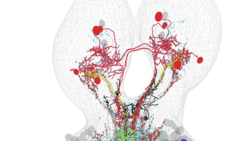 Researchers map neural circuit involved in combining multiple senses