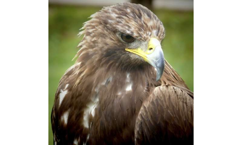 Researchers find way for eagles and wind turbines to coexist