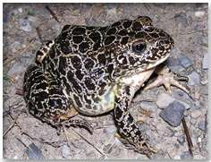 Researchers burrow deep to protect endangered frog