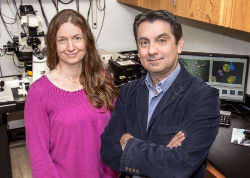 Researchers find protein necessary for fertility performs different roles in sperm, eggs