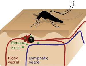 Scientists identify the skin immune cells targeted by the dengue virus