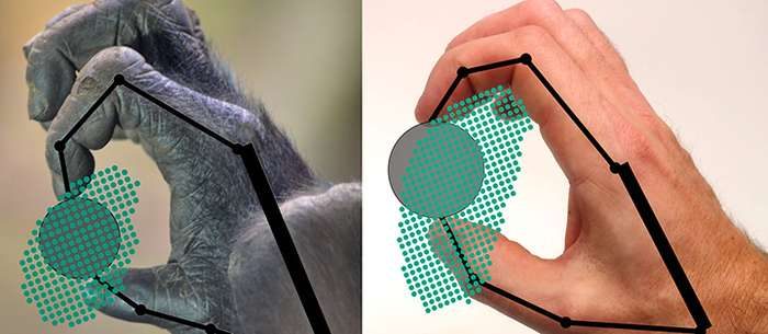 A better grasp of primate grip