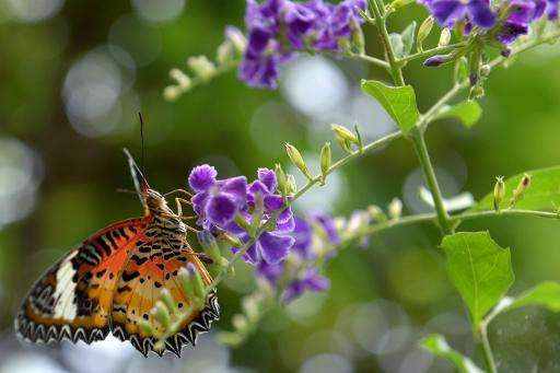 A butterfly on a flower in the garden of Banteay Srey Butterfly Centre on the outskirts of Siem Reap province