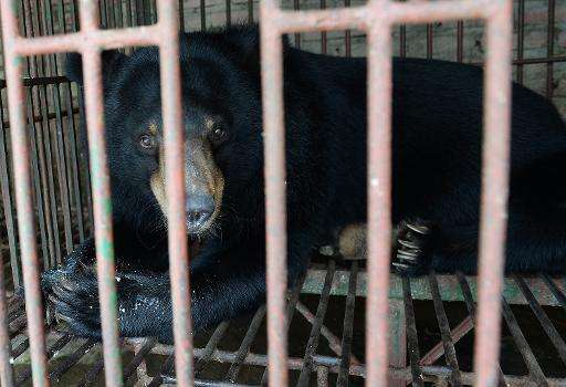 A captive moon bear is seen inside a metal cage at a private bear farm which was targeted by animal protection group Animals Asi