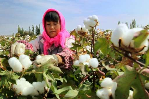 A Chinese farmer picks cotton in the fields during the harvest season in Hami, in northwest China's Xinjiang region