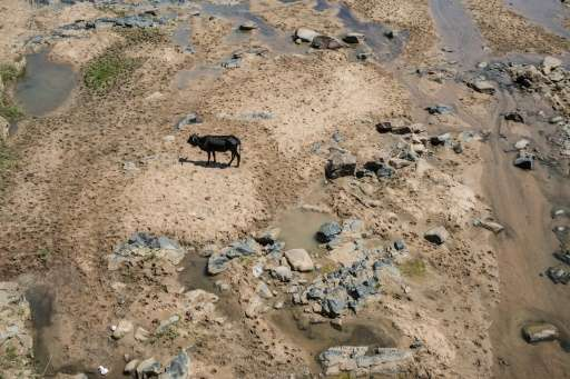 A cow roams through the dried up Mfolozi River in Ulundi on November 9, 2015 as a severe drought affects South Africa