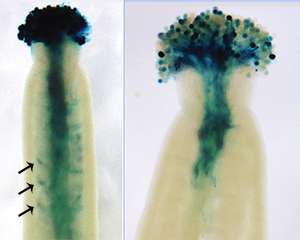 Addition of sugars plays a key developmental role in distantly related plants