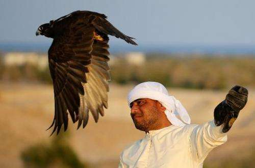 A falcon takes off on Sir Bani Yas Island, one of the largest natural islands in the UAE