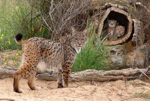 A female lynx and her cubs are seen at the captive breeding center of the Donana National Park in southern Spain