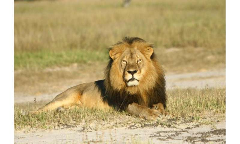 African lion survival may be dependent on corridor creation