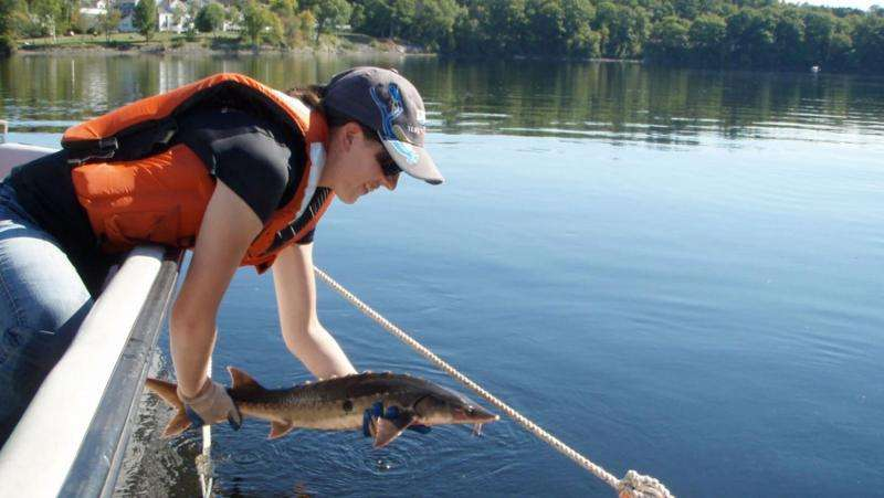 After more than a century, endangered shortnose sturgeon find historic habitat post dam removal