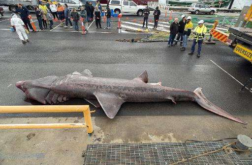 A giant basking shark that was accidentally picked up by a fishing trawler in the Bass Strait off the Australian mainland's most