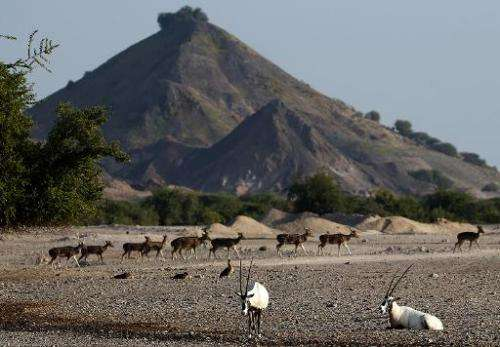A heard of Axis deer on Sir Bani Yas Island