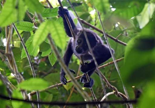 A howler monkey (Alouatta seniculus) is seen on Barro Colorodo island in the Panama Canal on November 23, 2015