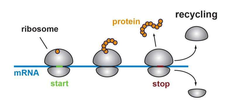Alert to biologists: Ribosomes can translate the 'untranslated region' of messenger RNA