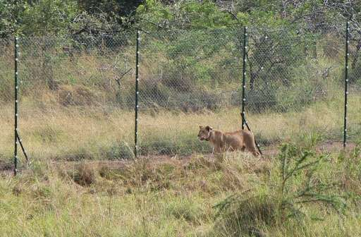 A lion brought from South Africa walks inside a temporary enclosure where they are going to spend at least two weeks before bein