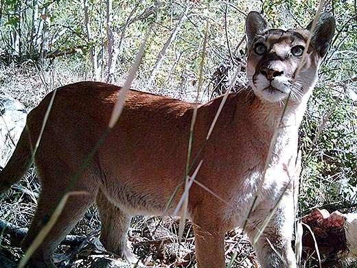 A lion tale: Humans cause most mountain lion deaths in Southern California