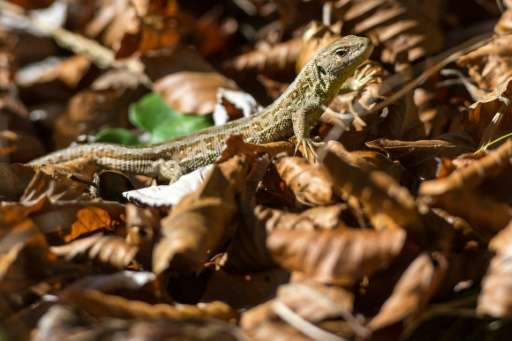 A lizard is pictured on October 21, 2015 in Lenggries, Germany