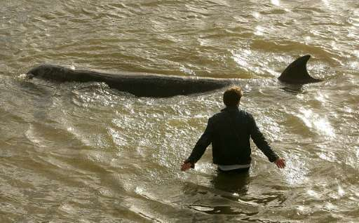 A man ushers a northern bottlenose whale away from the banks of the River Thames in London on January 20, 2006