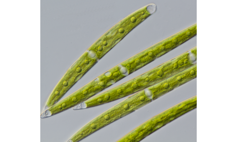 Ancient alga knew how to survive on land before it left water & evolved into first plant