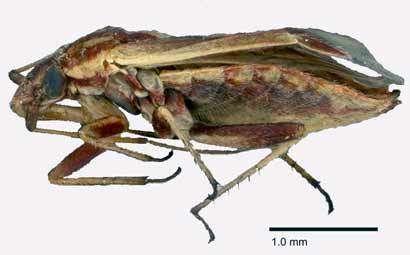 A new genus of plant bug, plus 4 new species from Australia