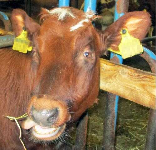 A new inherited disease identified in calves of the Ayrshire breed