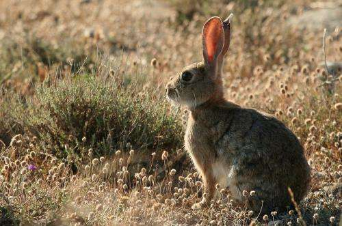 A new variant of the rabbit hemorrhagic disease endangers the Iberian lynx