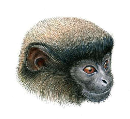 An illustration obtained on August 20, 2015 shows a Callicebus urubambensis or Urubamba brown titi monkey