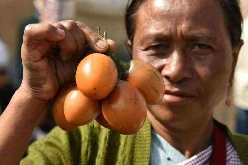 An Indian Khasi villager holds jungle tree tomatoes at The Indigenous Mei-Ramew Food Festival in Mawphlang in India's northeaste