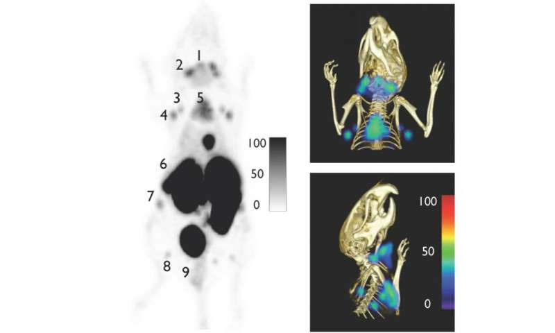 Antibody fragments expand what PET imaging can 'see' in mice (video)