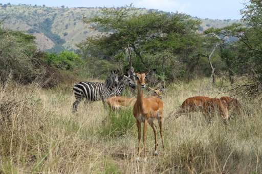 Antilope and zebra stand on July 1, 2015 in the Akagera National Park in the east of Rwanda, where lions lion brought from South