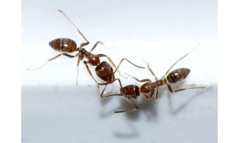 Ants' movements hide mathematical patterns