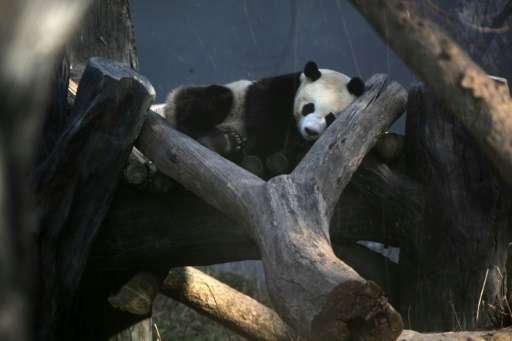 A panda sleeps in an enclosure in a zoo in Nanjing on February 8, 2015