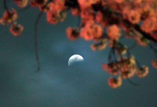 A partial lunar eclipse is seen behind fully bloomed cherry blossoms in Utsunomiya in Tochigi prefecture, 100km north of Tokyo o