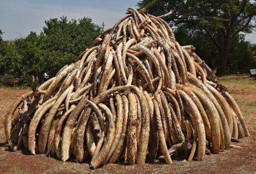 A pile of 15 tonnes of elephant ivory seized in Kenya is displayed at Nairobi National Park on March 3, 2015