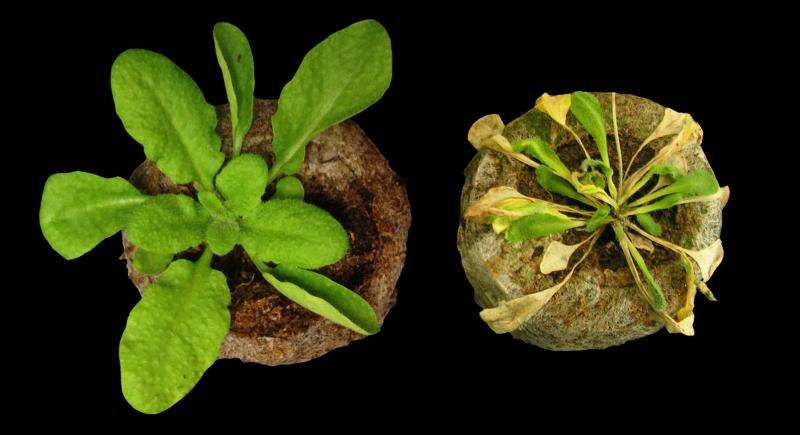 Arabidopsis uses molecular decoy to trick pathogens