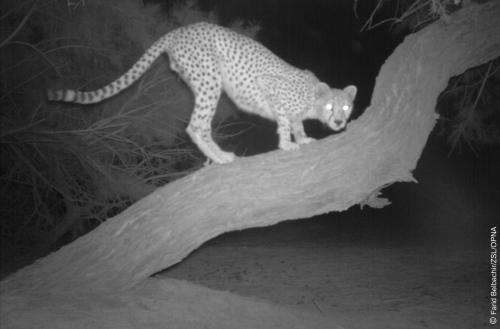 A rare glimpse at the elusive saharan cheetah