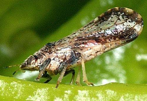 Are Asian citrus psyllids afraid of heights? New study may provide clues for stopping them