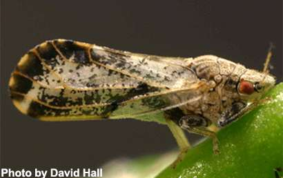 Area-wide management a must for Asian citrus psyllid