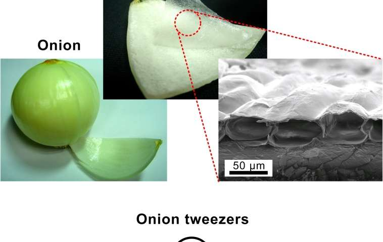 Artificial muscles created from gold-plated onion cells