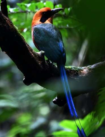A Rufous motmot bird is seen on Barro Colorodo island in the artificial Gatun Lake of the Panama Canal on November 23, 2015
