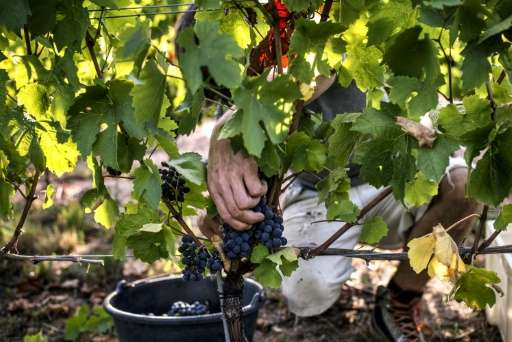 A scientist cuts grapes in Liergues as part of a program aimed at producing the fruit under appropriate conditions