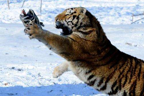 A Siberian tiger tries to catch a chicken released by a gamekeeper to entertain visitors at the Siberian Tiger Park in Harbin