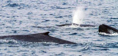 A team of Australian and New Zealand researchers has tracked scores of blue whales off Antarctica