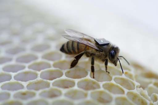 Australian scientists use micro-sensors attached to honey bees as part of a global push to understand the key factors driving a
