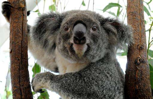 Australia's Queensland state is to list the koala as a 'vulnerable species' throughout the northeastern region,saying urban exp