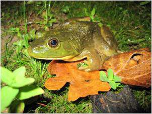 A village of bacteria to help frogs fight disease