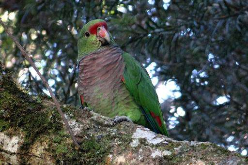 A vinaceous-breasted (Amazona vinacea) parrot rests on the branch of a tree in Curitiba, southern Brazil, on May 26, 2015