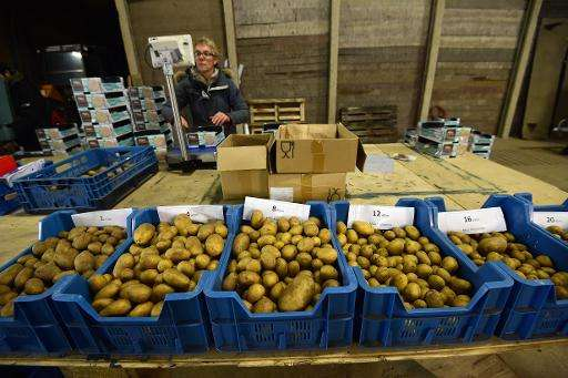 A worker sorts potatoes before packaging them at the Salty Potato Farm, in Den Horn, Netherlands